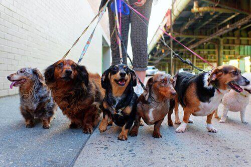 Tasma Eğitimi: Köpeğiniz Yürümeyi Reddettiğinde