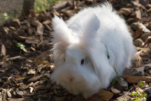 Ankara Cüce Tavşanı: Bakım İpuçları