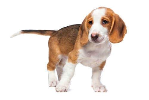Av köpeği olarak kullanılabilen bir ırk.