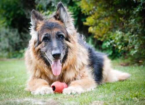 Köpeklerde Yaşlılık Dönemi Hakkında