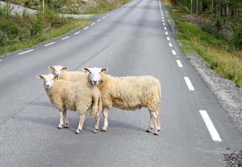 Çiftlik Hayvanları ve Vahşi Yaşam Yollarda Tehlikede