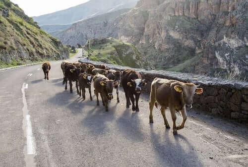 İnekler yolda yürürken