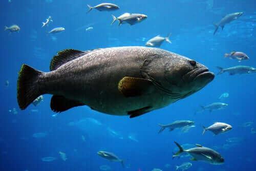 mavi sularda yüzen Atlantik golyat orfozu