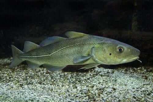 soluk renkli morina balığı