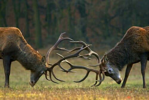 çiftleşme dönemindeki geyikler