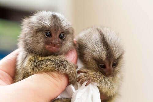 cüce maymunlar