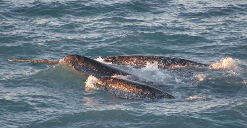 Deniz Gergedanı: Denizin tek boynuzlu atları