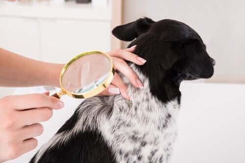 Köpeklerde Deri Enfeksiyonları Tedavisi