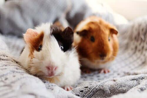 yatakta iki gine domuzu