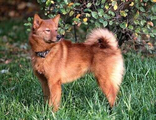 fin köpeği