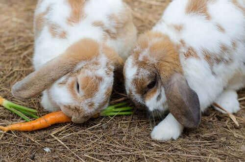 havuç yiyen tavşan