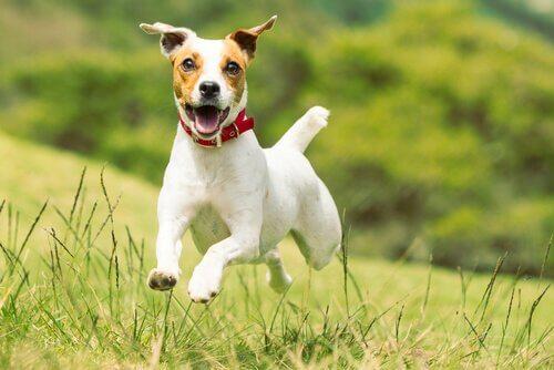 küçük köpekler ve jack russell terrier