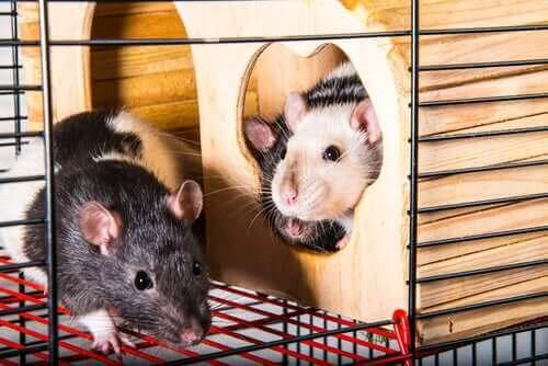 kafes sıçanlar
