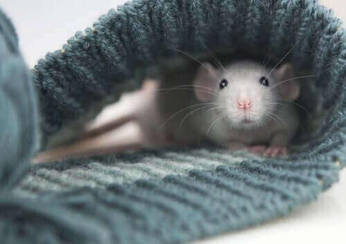 atkının içinde duran fare