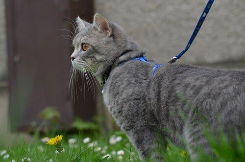 tasmayla kedi yürütmek