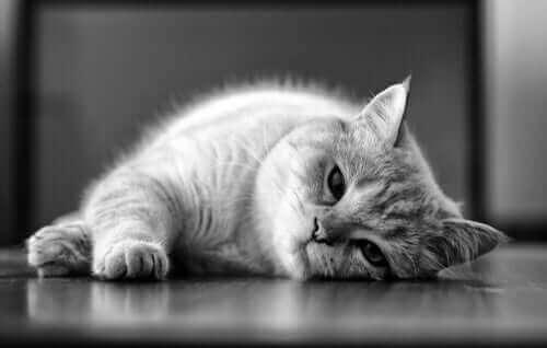 Kedilerde Layşmanyaz: Nedenleri ve Tedavisi
