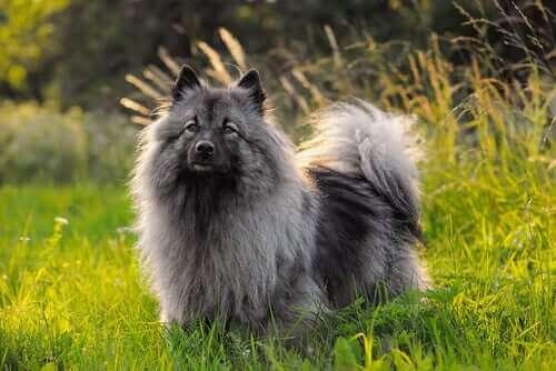 pomeranya köpekleri türleri