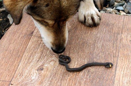 Köpeğinizi Yılan Sokarsa Ne Yapmalısınız?