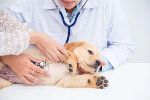 Köpeklerde Böbrek Hastalıkları: Nedenleri, Belirtileri ve Tedavisi