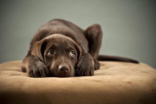 korkak köpek