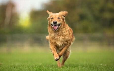 çimlerin üzerinde koşan sarı köpek ve hayvan osteopatisi