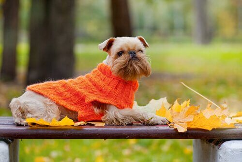 kazak giyen küçük köpek
