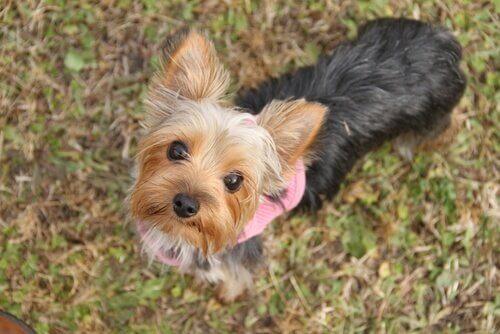 Küçük Köpekler: Bilmeniz Gereken 6 Şey