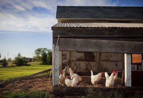 Şehirde Tavuk Beslemek için 7 İpucu