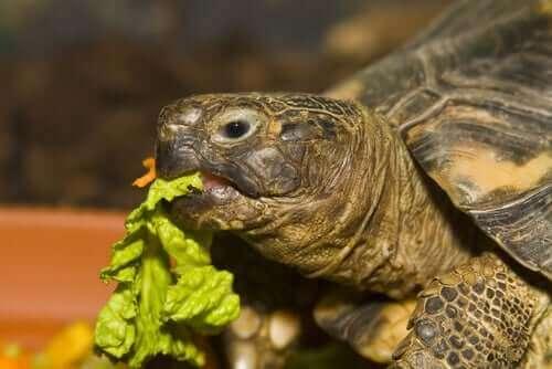 marul yiyen kaplumbağa