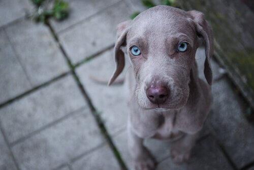 Mavi Gözlü Köpek Irkları
