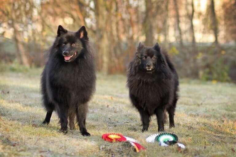 Pomeranya Köpekleri: Bilmeniz Gereken Her Şey