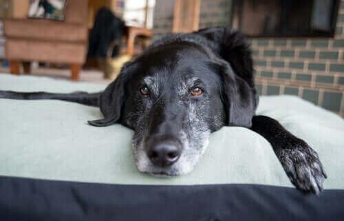lavanta yağı ile rahatlayan köpek