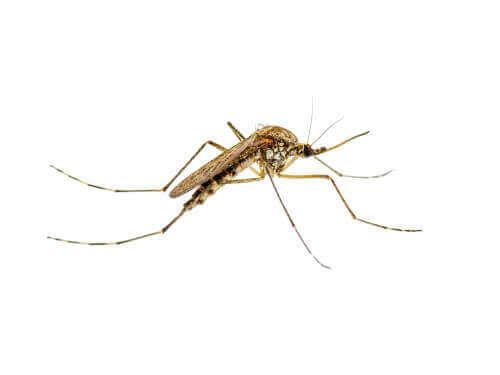 tatarcık sineği