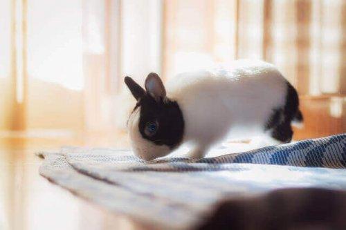 örtünün üzerinde zıplayan tavşan
