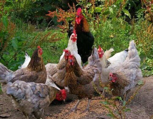 tavuk beslemek