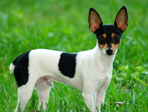 Toy Fox Terrier Özellikleri
