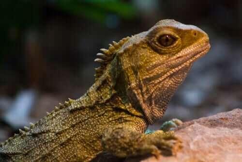 Tuatara: Dinozorlar Çağından Gelen Hayvan