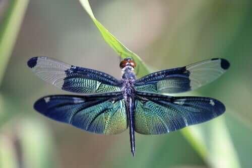 Yusufçuk Böceğinin Üç Metamorfoz Evresi