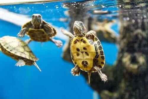 yüzen su kaplumbağaları ve su