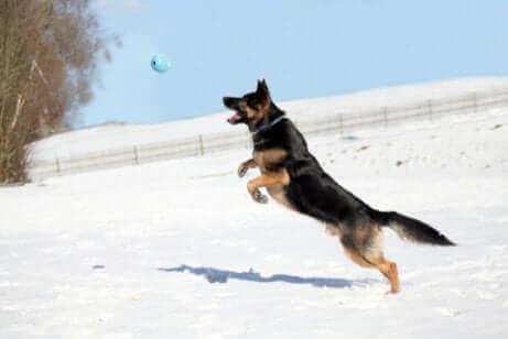 zıplayan siyah köpek