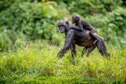 Bonobo Anneleri Çocuklarına Eş Buluyor