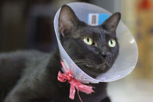 Kedi Kısırlaştırma: Güvenli ve Gerekli Bir Şey mi?