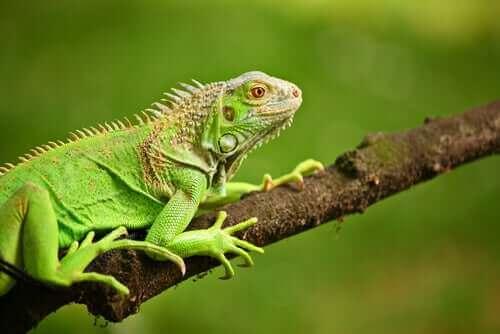 Yeşil İguanalar – Ne Yerler?