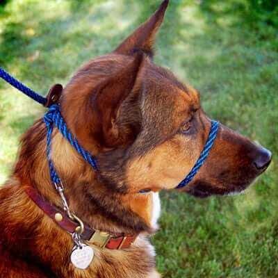 ağız tasması takılmış köpek