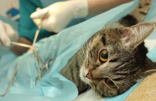 Kedi kısırlaştırma oldukça yaygın bir prosedür
