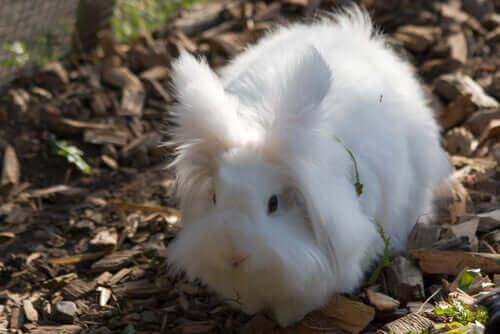 beyaz angora tavşanı