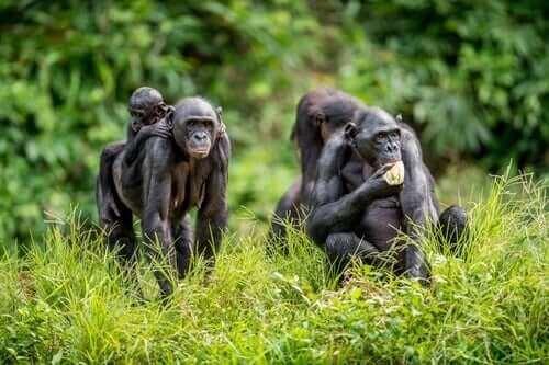 Bonobo ailelerinin yaşantıları insanlarınkine oldukça benzer