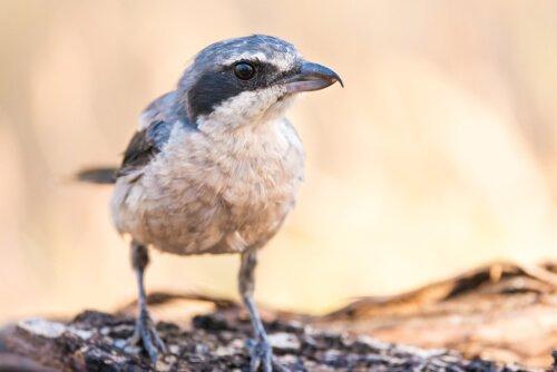 Bozkır Örümcek Kuşu: Kasap Kuş