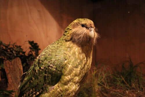 Yeni Zelanda'da Devasa Bir Papağan Keşfedildi!