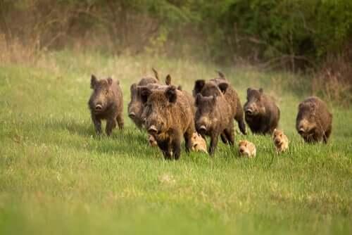 domuz sürüleri